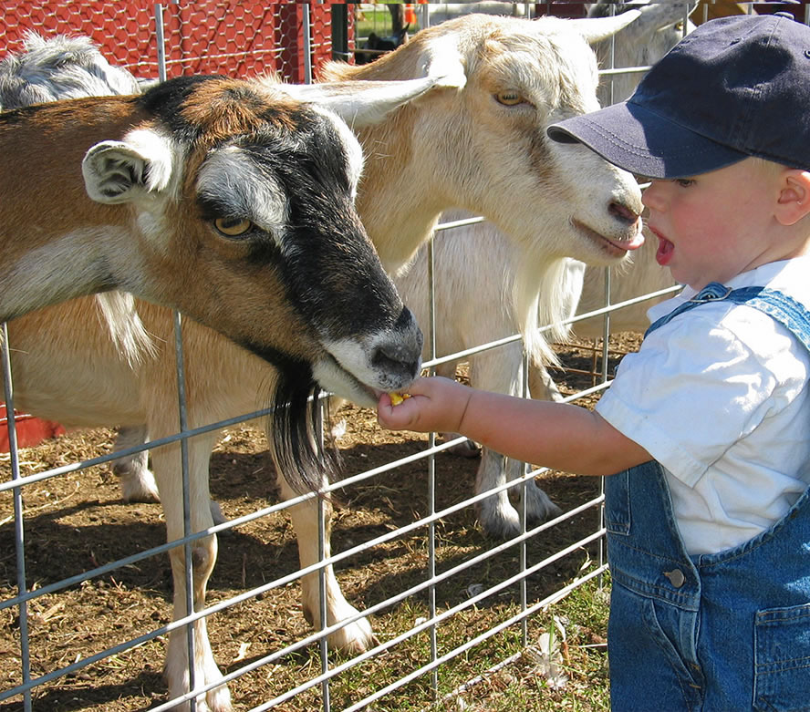 Child petting goats